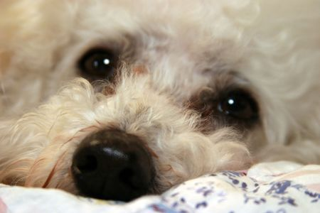 loveable: Beau the Bichon Frise up close Stock Photo