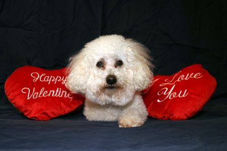 loveable: Beau the Bichon Frise Loves everyone