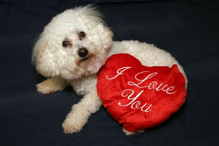 bichon: Beau the Bichon Frise says I Love You!