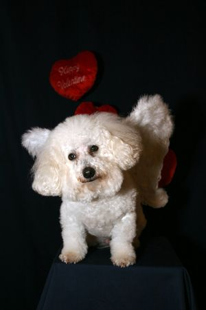 Beau the Bichon Frise is an ANGEL DOG! photo