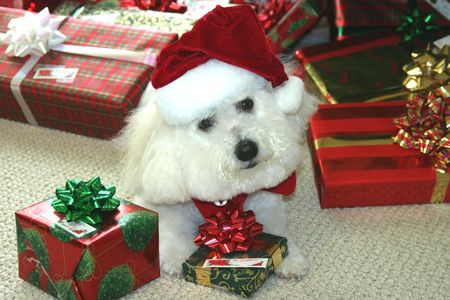 bichon: Beau, a Bichon Frise wishes you a Merry Christmas Stock Photo