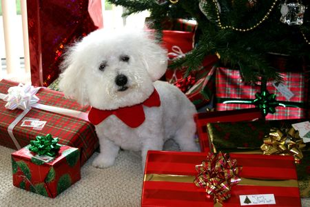 mans best friend: Beau, a Bichon Frise wishes you a Merry Christmas Stock Photo