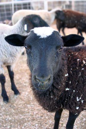 cousin: black sheep Stock Photo