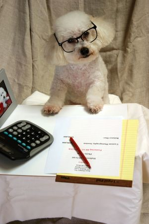 Beau our Bichon Frise at work in his office