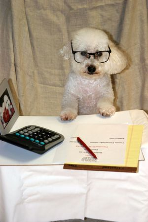 Beau our Bichon Frise at work in his office photo