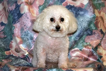 Fifi our Bichon Frise Stock Photo - 255829