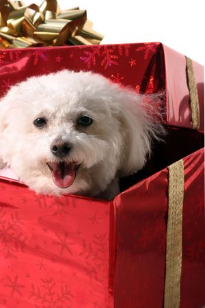 smal: Fifi a Bichon Frise dog smiles in a christmas gift box
