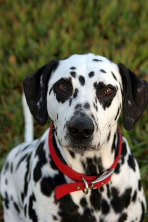 loveable: close up of Lucky the Dalmation