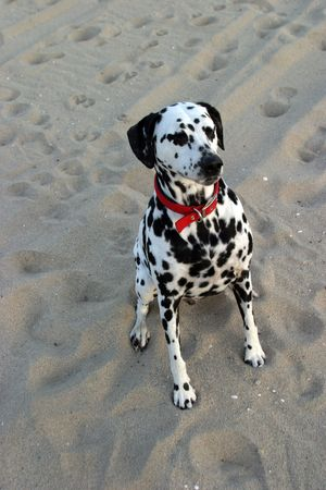 loveable: Lucky the Dalmation sits for a dog treat Stock Photo