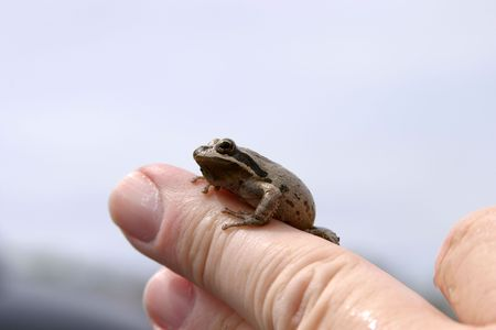 tiny frog: small brown tree frog on my hand