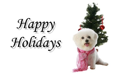 Fifi the Bichon Frise wishes everyone around the world Happy Holidays photo