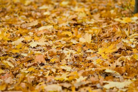 yelow: Autumn yelow leaves