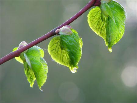 3 つのヘーゼル ナッツの葉