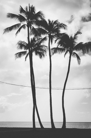 Four palm trees aligned and crossed by electric wires in Hawaii, US