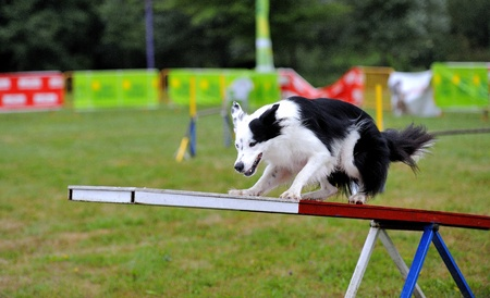 Border Collie in Agility competition in an obstruction of rocker