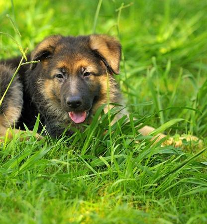 German shepherd puppy 2 months