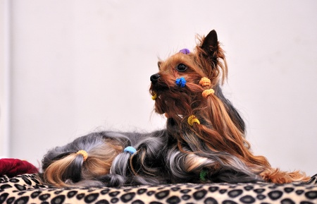 Yorkshire Terrier dog exposure on a table. Stock Photo