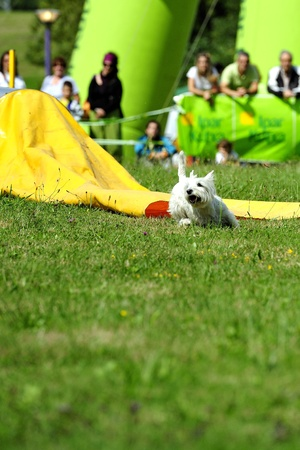 Dog in agility in the tunnel obstacle blind Editorial