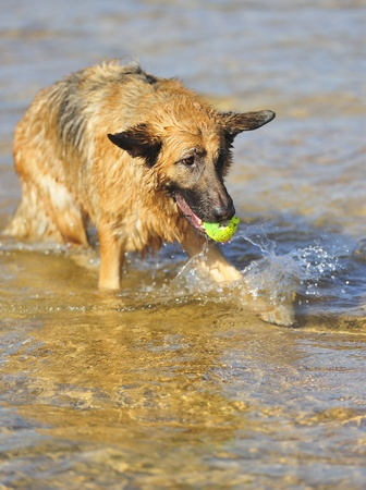 German Shepherd 28 months playing on the beach with a ball Stock Photo - 11202047
