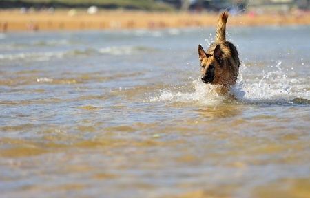 German Shepherd 28 months playing on the beach with a ball Stock Photo
