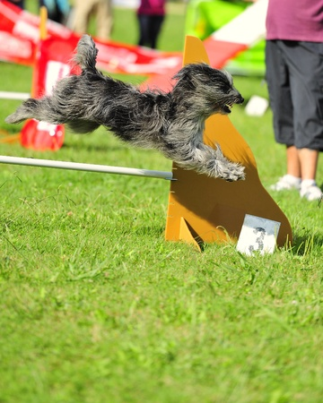 Briard  in agility test in fence jumping obstacle