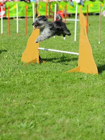 Briard in agility test in fence jumping obstacle Stock Photo