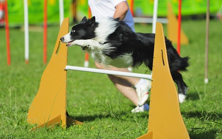 Border collie  in agility test in fence jumping obstacle