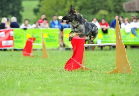 Czechoslovak Shepherd  in agility test in fence jumping obstacle
