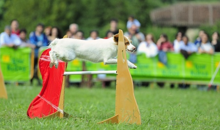 Breton Spaniel  in agility test in fence jumping obstacle Stock Photo