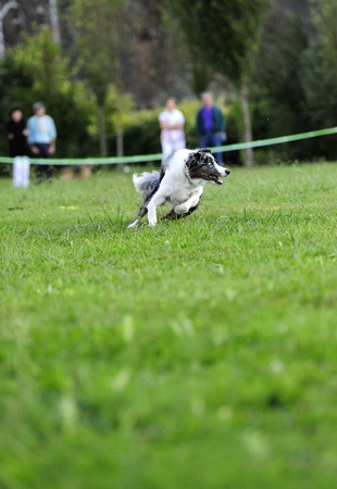 Australian Shepherd frisbee dog in test Stock Photo