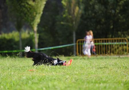 Border collie frisbee dog in test