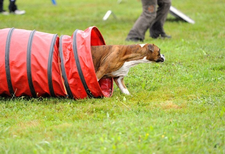 Boxer  in agility test in the tunnel obstacle articulated Stock Photo