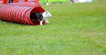Border collie  in agility test in the tunnel obstacle articulated