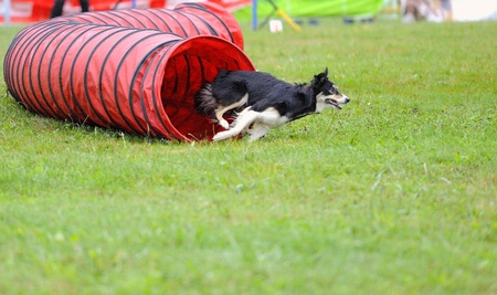 Dog in agility test in the tunnel obstacle articulated