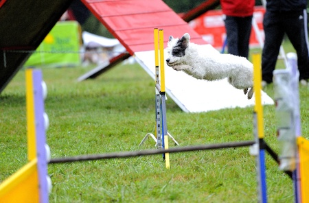 Spanish Water Dog in agility test in fence jumping obstacle Stock Photo