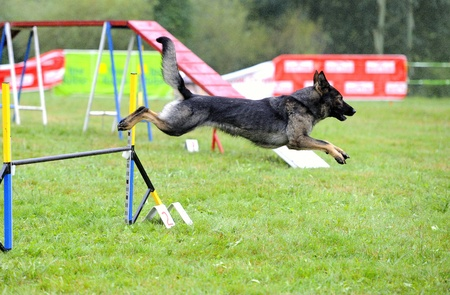 Czechoslovak Shepherd in agility test in fence jumping obstacle Stock Photo