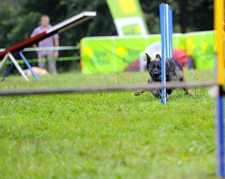 czechoslovak: Czechoslovak Shepherd in agility test in the slalom