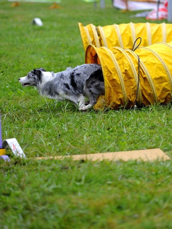 Australian Shepherd  in agility test in the tunnel obstacle articulated