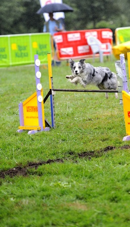 Australian Shepherd  in agility test in fence jumping obstacle Stock Photo
