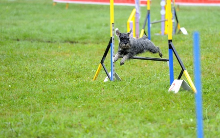 Miniature Schnauzer  in agility test in fence jumping obstacle Stock Photo