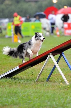 Australian Shepherd in agility test at the obstacle of rocker