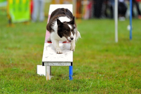 Border Collie Agility competition in an obstruction of rocker