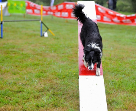 Border collie in agility test at the obstacle of rocker Stock Photo