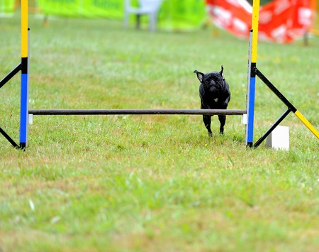 Carlino in in agility test in fence jumping obstacle