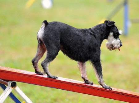 Miniature Schnauzer in agility test at the obstacle of rocker Stock Photo