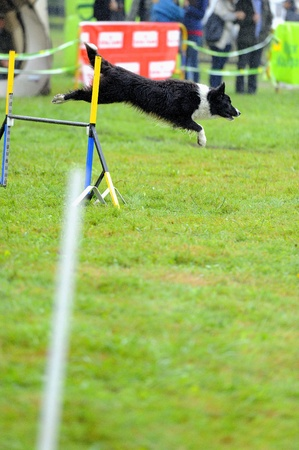 Border collie   in agility test in fence jumping obstacle Stock Photo - 11385803
