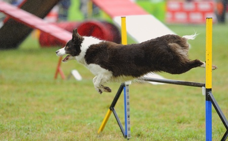 Border collie in agility test in fence jumping obstacle Stock Photo