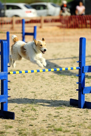 Fox Terrier jumping over a fence in a test of agility.