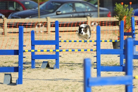 Border Collie Jumping a hurdle fence in Agility concussive Stock Photo