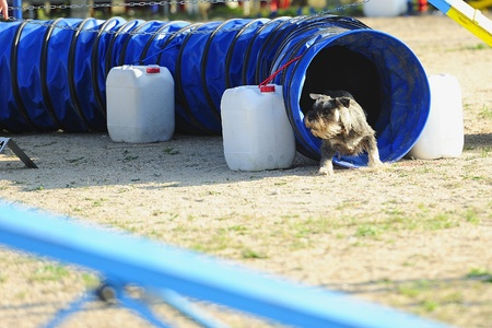 Medium Schnauzer an obstacle in an Articulated Tunnel Agility test. Stock Photo